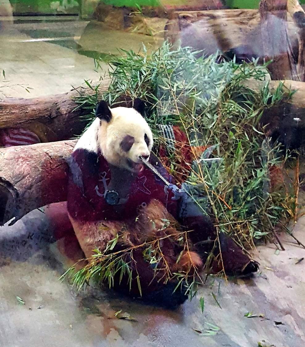 Taipei Zoo Panda Taipei Taiwan