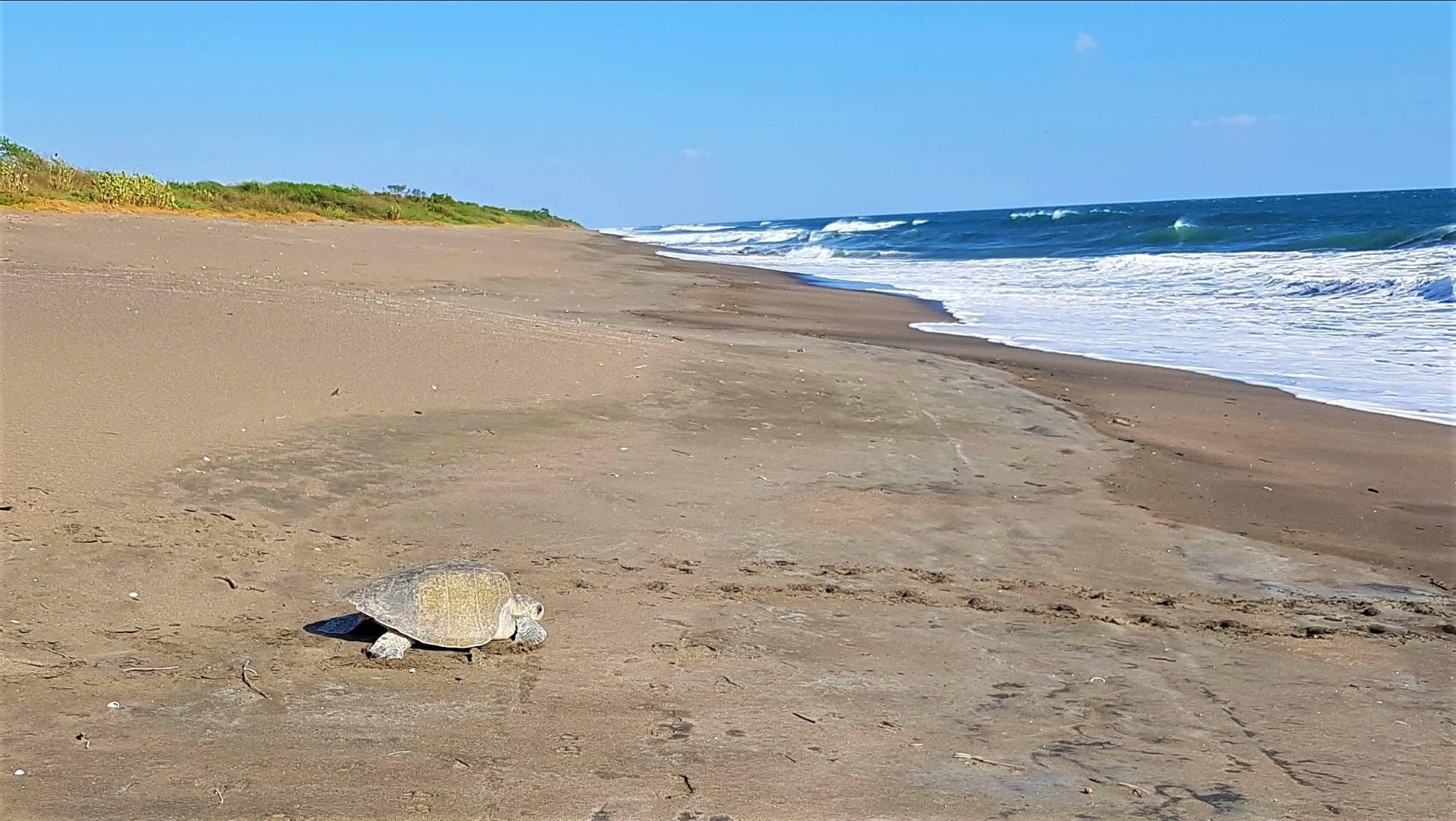 Turtle Las Penitas Nicaragua