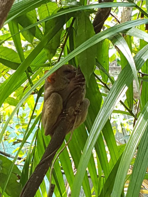 top things to do philippines bohol tarsier 1